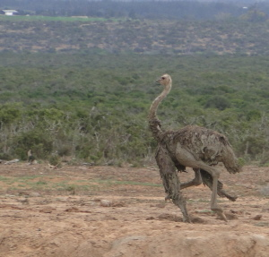 Ostrich Freed