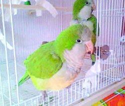 Sydney the Reiki parrot