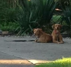 Stray Retrievers