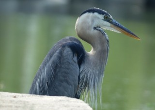 Lesson of the Blue Heron:  Animal Reiki Ethics and Photography