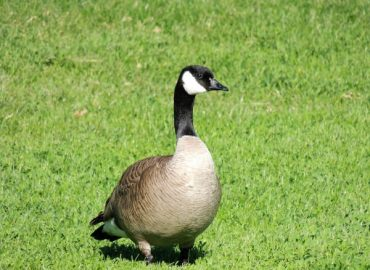 What's Good for the Goose