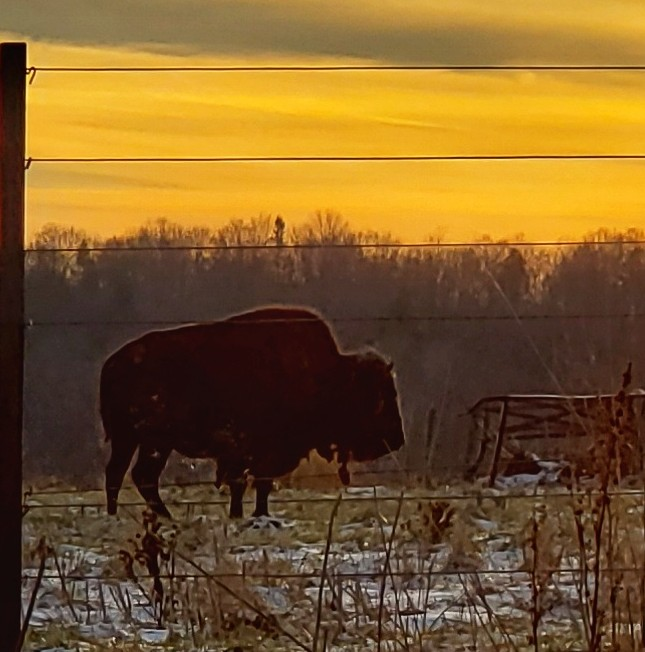 The Year End Gift of the Bison