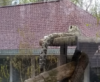 Snow Leopard Baby Reaches Out For Reiki